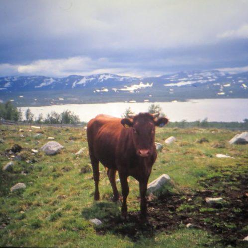 Vache en balade (comme tous les animaux en Norvège)
